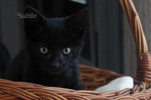 Gattina di due mesi in adozione