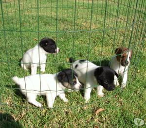Meravigliosi cuccioli jack russell terrier!