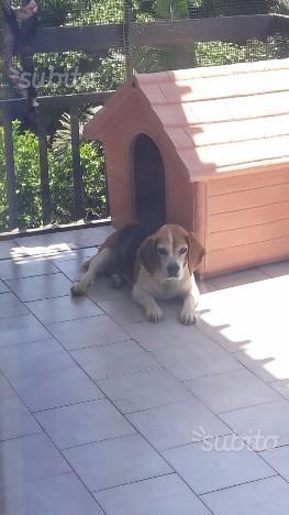 Regalo beagle femmina