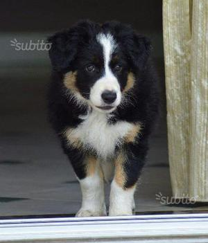 Splendido Border collie con pedigree