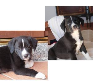 CASSIA 2mesi cucciola fantastica! mix border collie