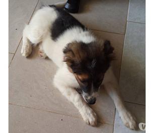 Tigrotta,mix border collie in adozione,3 mesi