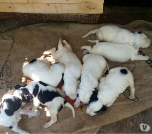 cuccioli setter inglese tricolore