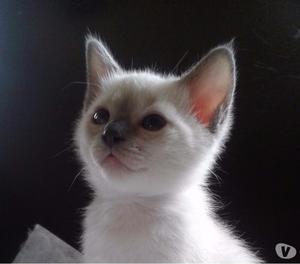 Ciccioli di gatto Thai