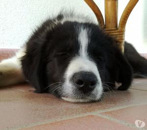 Cucciola di Border collie con Pedgree