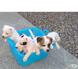 cuccioli di jack russel NUOVO