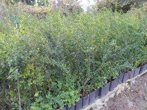 Siepi Da Giardino Prezzi : Piante per siepi da giardino decorazioni per la casa