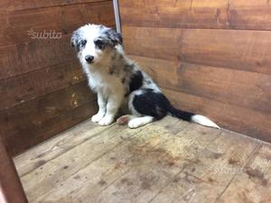 Border Collie Blue Merle con Pedigree
