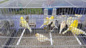 Canarini e ibridi di vari tipo