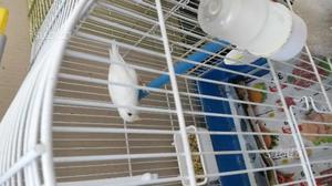 Canarino bianco recessivo canarini gialli mosaici