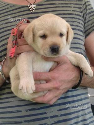 Cucciola labrador con pedigree enci
