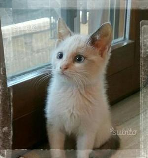 Gattini angora/siamese thai blue point