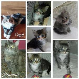 Gattini maine coon disponibili dal