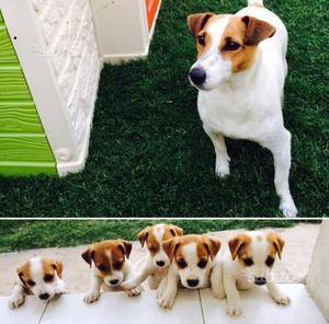 Jack Russell Terrier cuccioli