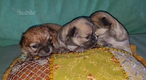 3 Cucciole di chihuahua a pelo lungo