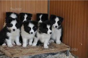 Border collie cuccioli
