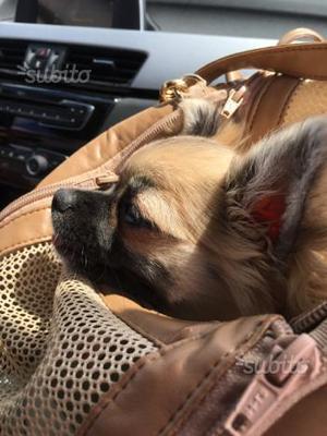 Chihuahua femmina di 4 mesi PEDIGREE