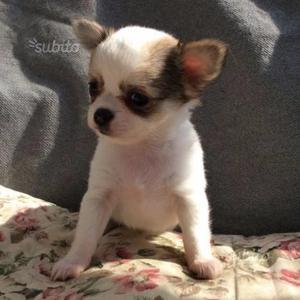 Chihuahua mix mini pincher mini toys