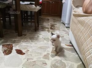 Cucciolo di chihuahua ha pelo lungo