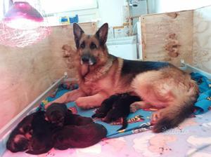 Disponibili cuccioli puri pastore tedesco