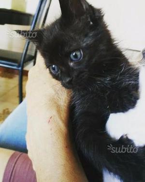 Gattina nera a pelo lungo