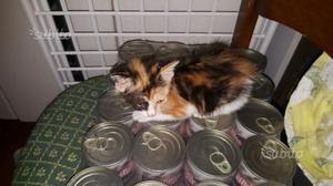 Gattina pelolungo tricolore 2 mesi