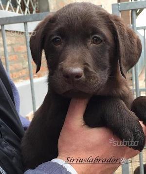 Labrador cuccioli chocolate