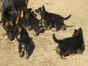 Pastore Tedesco cuccioli