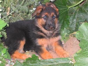 Pastore tedesco cuccioli maschio e femmina puri