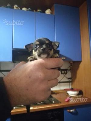 Privato cucciola di chihuahua femmina