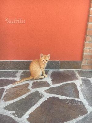 Regalo gattino rosso