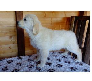 golden retriever cuccioli (RM) pedigree enci