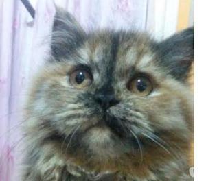 gatta persiana 3 anni tanto affettuosa