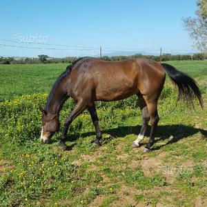 Cavallo castrone 7 anni