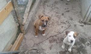 Cuccioli di Pitbull UKC