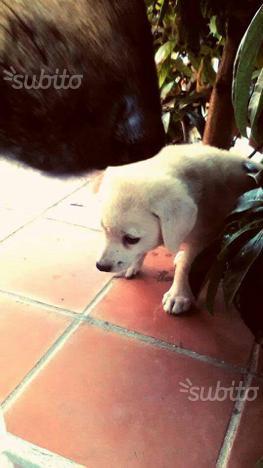 Cucciolo Labrador