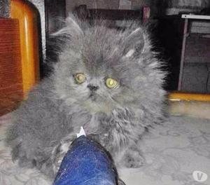 Gattini persiani ipertipici vari colori