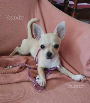 Chihuahua femmina mini