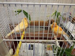 Coppie canarini rosso intenso e brinato