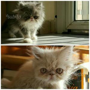 Gattini persiani puri