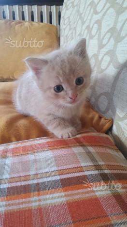 Gattino rosso, due mesi - maschio