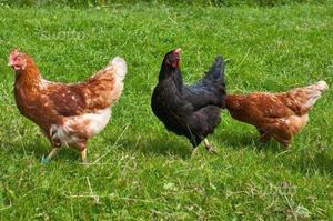 Polli Ruspanti e uova