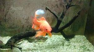 Boccia pesce rosso posot class for Quanto vive un pesce rosso