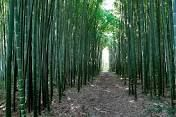 Impianto Bambu gigante