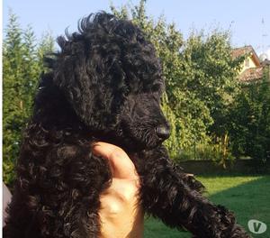vendo cuccioli di barbone grande mole nero