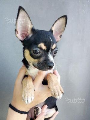Chihuahua nera tricolor femmina 3 mesi