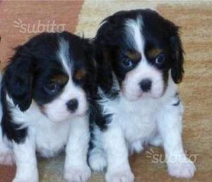Cuccioli Cavalier King di 2-3 mesi