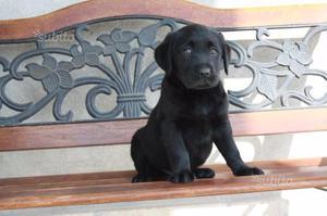 Cuccioli Labrador Retriver di 2-3 mesi