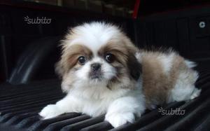Cuccioli Shih-tzu di 2-3 mesi