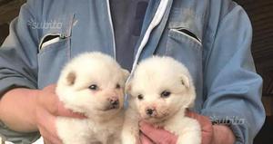 Cuccioli Volpino di Pomerania di 2-3 mesi